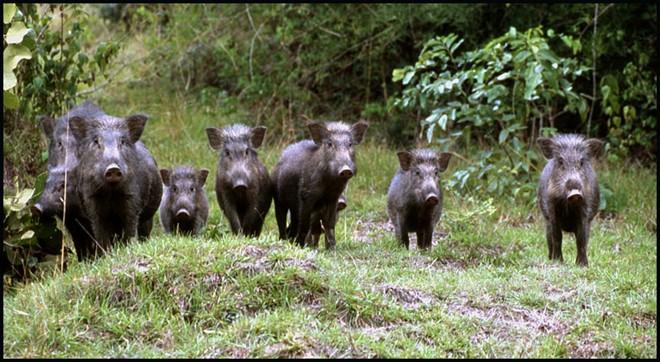 lợn rừng đẹp